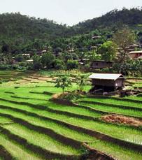 שדות אורז לנצח