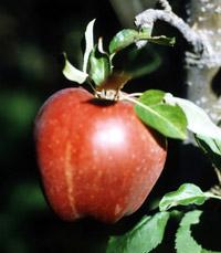 תורם לחיזוק החניכיים, מסייע בדלקות פרקים. תפוח