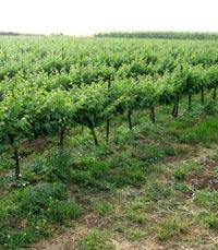 כל יין נוצר מענבים שגדלו ב'טרואר' שונה