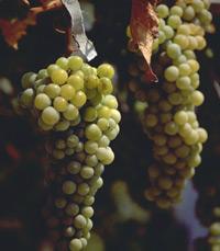 חיים גן, מומחה ליינות וכהלים