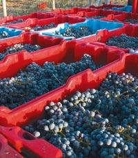 חודש סיום הבציר בפסטיבל היין
