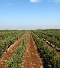 יקב הזיתים ארץ גשור