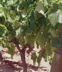 ליקב יש כעת ארבעה יינות: מרלו, קברנה סוביניון ושירז