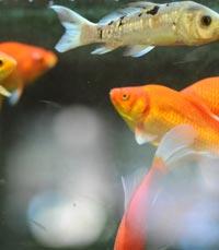 ליד בריכות הדגים, מוגש עם מנת טבע הגונה - דגי דפנה